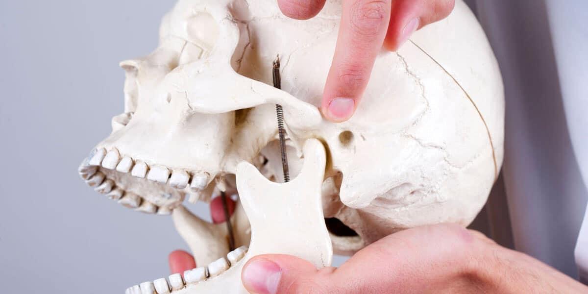 Pointing to the temporomandibular joint (TMJ) on a model school